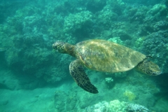 Swim with the turtles between beaches Kamaole I and II