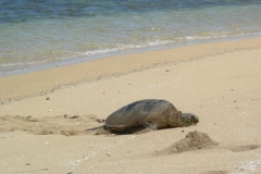 Turtle on the island of Lanai at Shipwreck beach