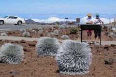 Silversword Flower on top of Mt Haleakala